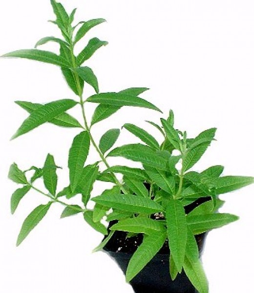 Lemon verbena is a perennial herb. Its taste and fragrance improve as it ages.