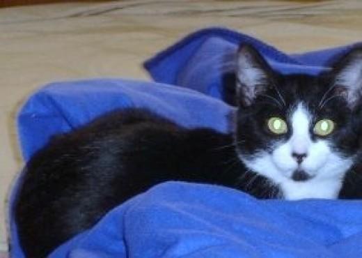 Kim is a tuxedo cat.