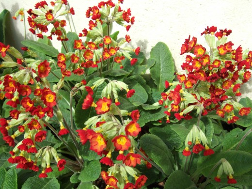 Red flowered polyantthus type.