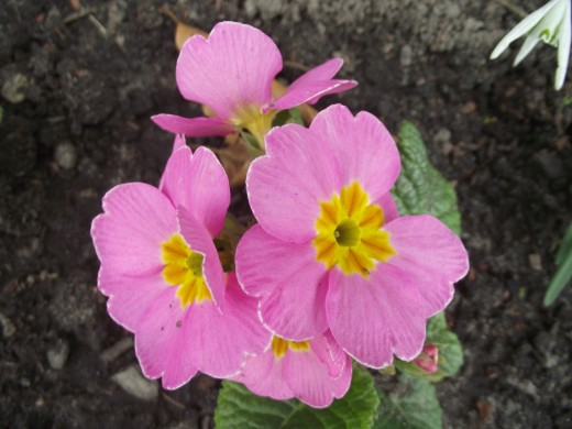 Pink flowered Primula