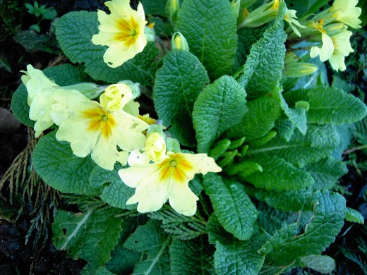 Primula yellow flowered