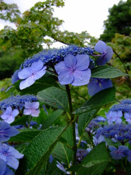 A blue Hydrangea from my garden.