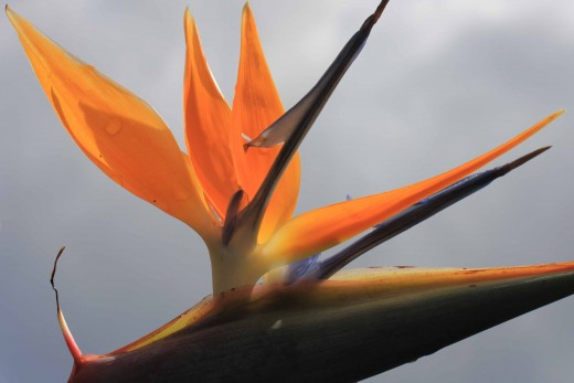 The Bird-of-Paradise Flower
