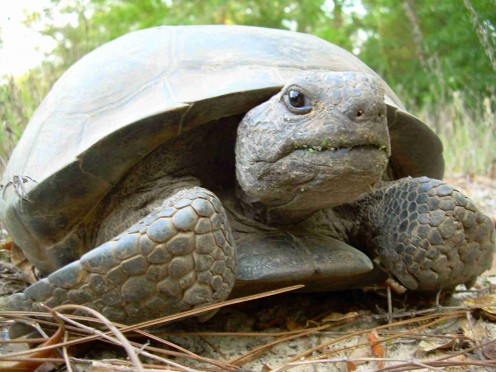 This gopher tortoise is eating grass as indicated by the tell-tale greenery around its mouth.