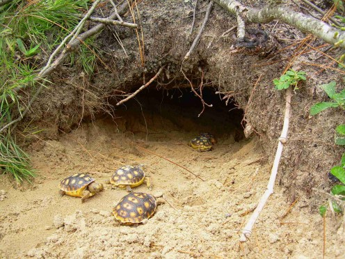 Gopher tortoise young, heading for the safety of the burrow.