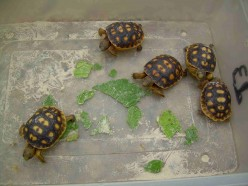 These babies were reared for release by local  volunteer wildlife conservationists.