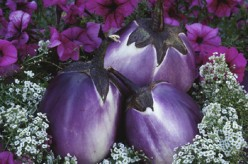 The Truth and Facts About Eggplants