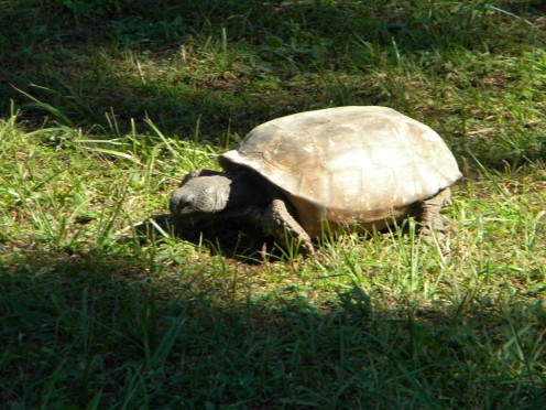 Florida gopher tortoise-Zephaniah Kingsley Plantation fort George Island