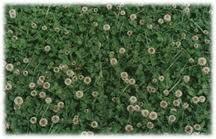 Clover mulch as a green mulch