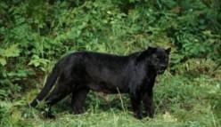 Big Cats in Britain?