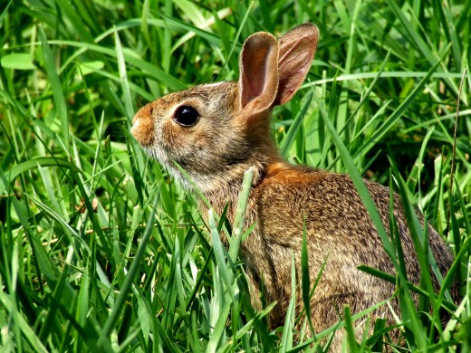 The Easter rabbit is an ancient pagan symbol for fertility and spring.