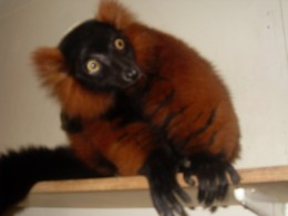 They are so cute and inteligent.  How wonderful are the lemurs at Bristol Zoo