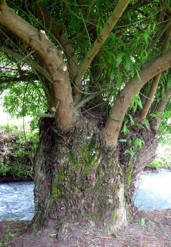 Meet Me Behind the Willow Tree