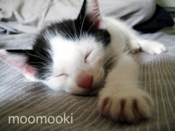 MooMooko is just one of many cats & kittens looking for a home after being displaced by Tsunami