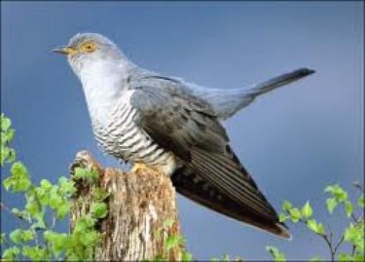 The Female Cuckoo