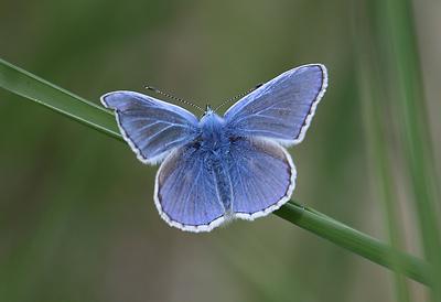 Dwarf Blue Butterfly