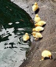 Ducklings entering the water