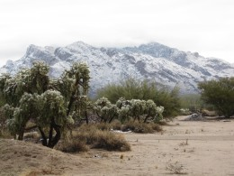 Cacti with Catalina Mountains in distance