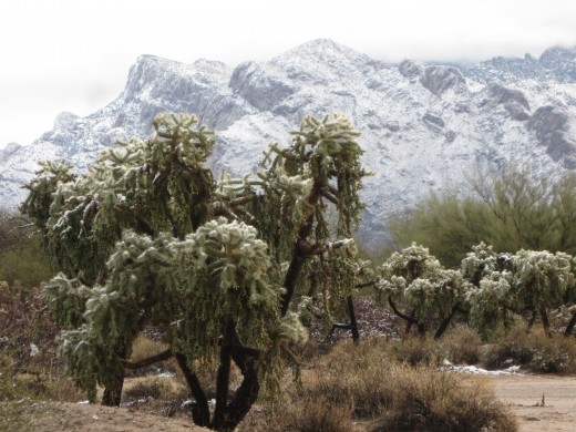 Snow on Teddybear Cholla Cactus with Catalina Mountains as Background