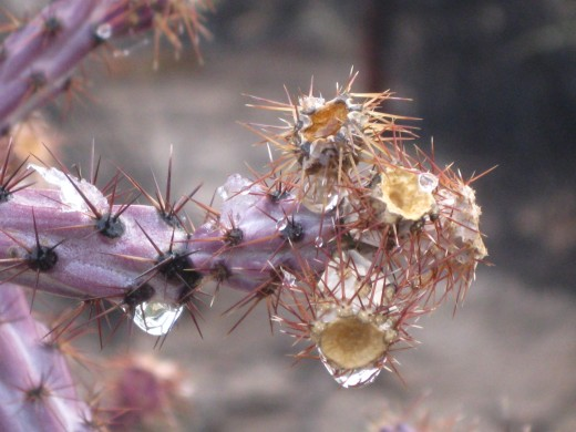 Close up of snow melting on Staghorn Cholla Cactus