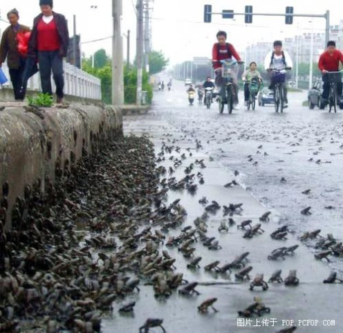 9th, May, 2008 thousands frogs cross road near earthquake area.