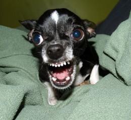 Mean Chihuahua