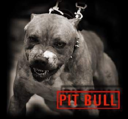 Fighter Pit bull