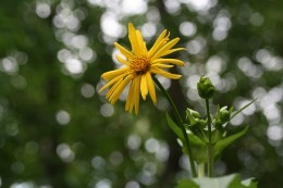 Cupplant, by Birdfreak.com