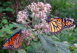 Joe Pye Weed, by tlindenbaum