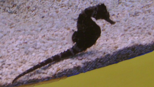 Seahorse at the Ripley Aquarium, Gatlinburg, TN (Taken October 2007).