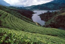 Tea plantation in Sri Lanka (Ceylon)