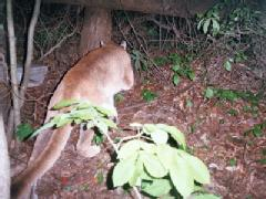 A MOUNTAIN LION CAPTURED ON CAMERA IN RURAL GREENE COUNTY
