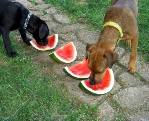 Fido wins the watermelon eating contest.