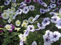 Wildflowers in Vail
