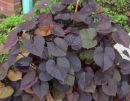 ce of Spades Ornamental Sweet Potato vine