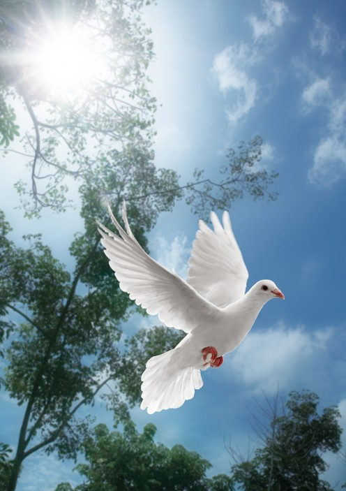 A dove in flight.