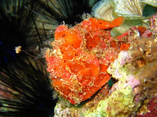 Frogfish trying to look like part of the coral
