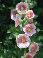 Hollyhocks, also provide a great background to any spring garden and to add, you do not have to have a green thumb to start growing the seedlings indoors.