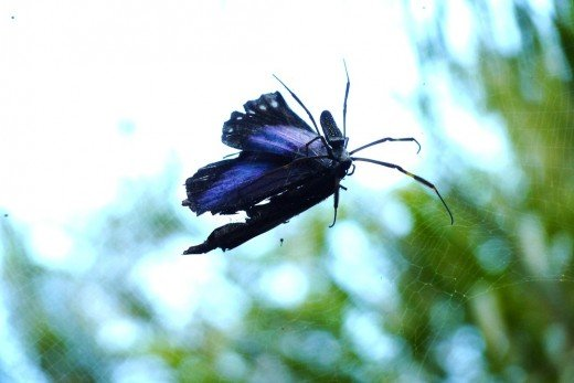 We passed under a huge cobweb in our 4x4 where a giant spider was eating a large blue butterfly