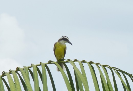 A Dark-billed Cuckoo bird