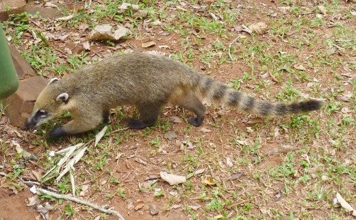 A Coati (raccoon) looking for food.