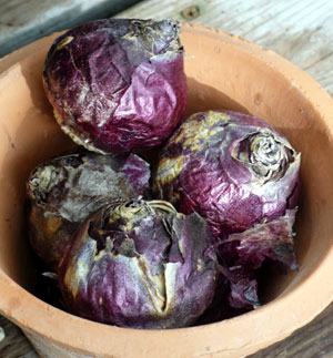 Hyacinth bulbs can be confused with Onions!