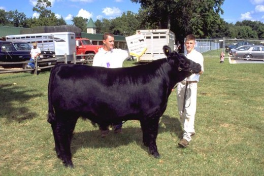 4H member shows off his Angus Steer