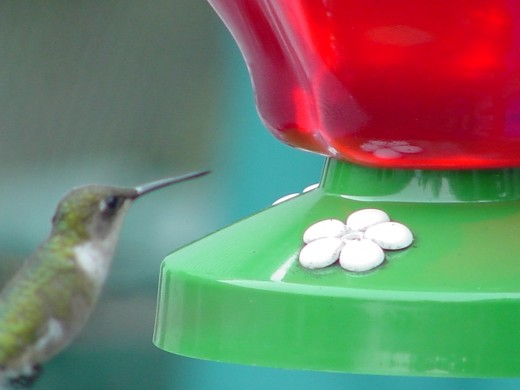 Humming bird at the feeder
