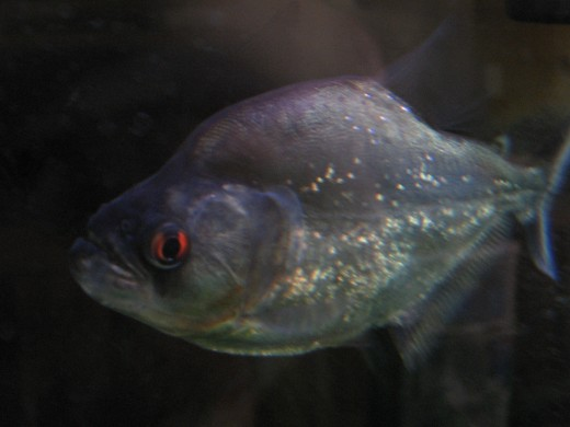 "The flanks of many Black Piranhas appear as if they were rubbed with glitter, hence the nickname ""Diamond Piranha""."
