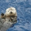 The Endangered Sea Otter:  Interesting Facts and Video
