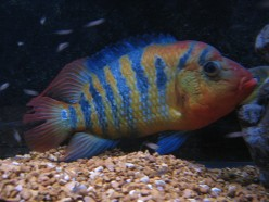 Red Terror Cichlid - A Fish with Attitude