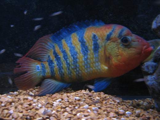 The author's adult female Red Terror Cichlid