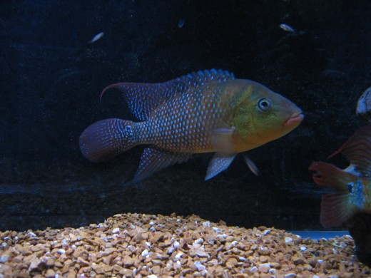 The author's adult male Red Terror Cichlid