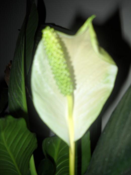 Peace Lily blossom.